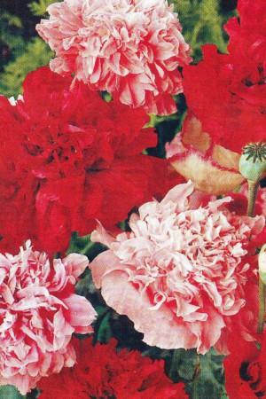 Semences de fleurs : Pavot Somniferum