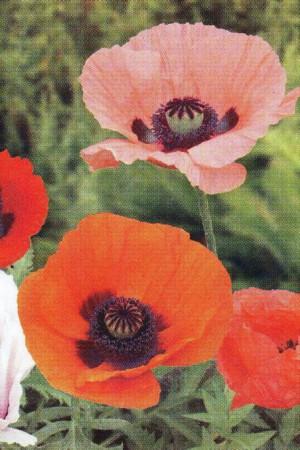 Semences de fleurs : Pavot  D'Orient