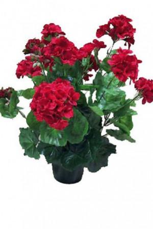 Semences de fleurs : Pelargonium Rouge F2