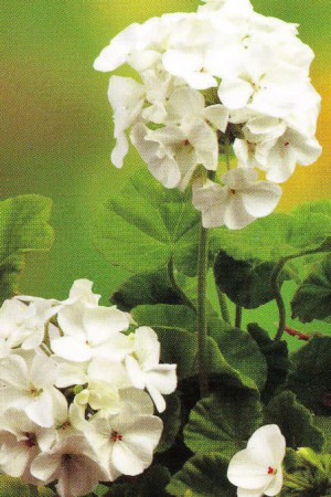 Semences de fleurs : Pelargonium Apollo F1