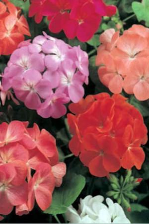 Semences de fleurs : Pelargonium varié
