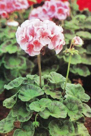 Semences de fleurs : Pelargonium Cherie F1