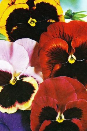 Semences de fleurs : Pensée Géante de Suisse en mélange