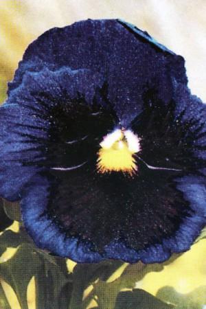Semences de fleurs : Pensée Lac du Thoune