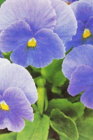 Semences de fleurs : Pensée Celestial