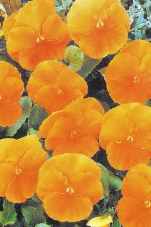 Semences de fleurs : Pensée Oranjezon