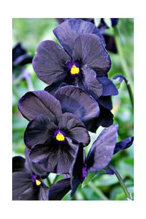 Semences de fleurs : Pensée Géante de Suisse noire