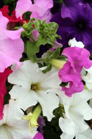 Semences de fleurs : Pétunia A grande fleur variée