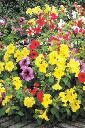 Semences de fleurs : Pétunia Cascade F1