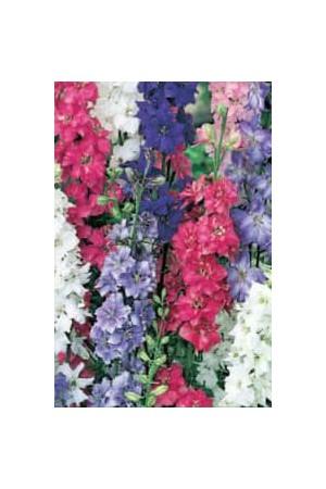 Semences de fleurs : Pied d'alouette A grande fleur variée