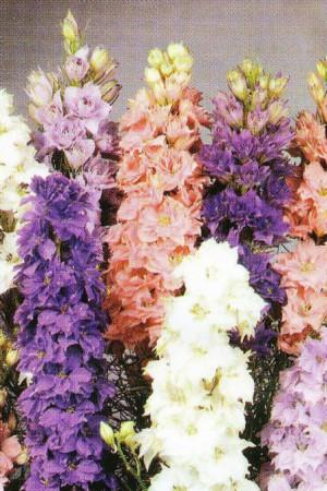 Semences de fleurs : Pied d'alouette Nain