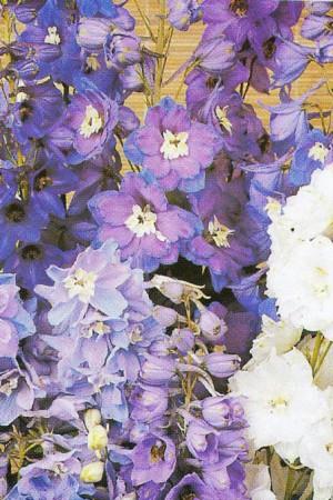 Semences de fleurs : Pied d'alouette Pacific Géant