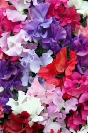 Semences de fleurs : Pois de senteur Spencer varié