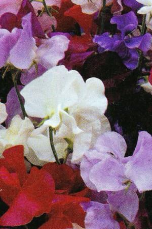 Semences de fleurs : Pois de senteur Little sweetheart