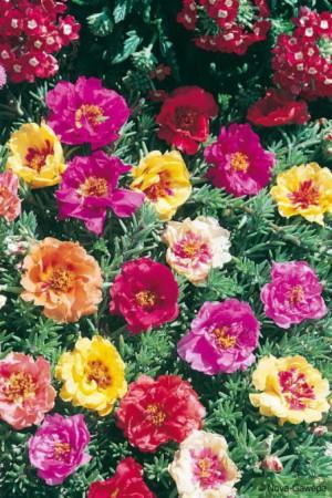 Semences de fleurs : Pourpier A grande fleur double variée