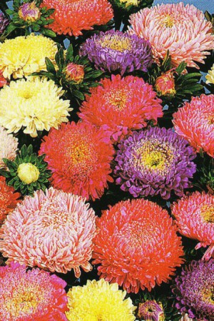 Semences de fleurs : Reine-Marguerite Colour Carpet double