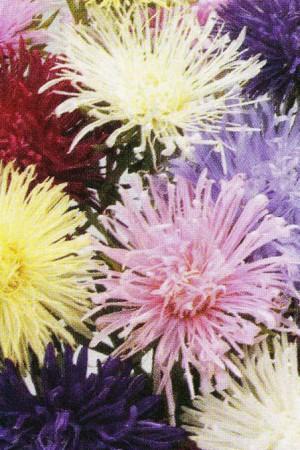 Semences de fleurs : Reine-Marguerite Unicum