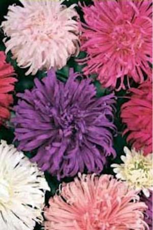 Semences de fleurs : Reine-Marguerite Plume d'Autruche