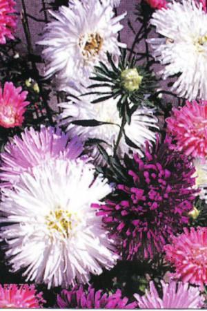 Semences de fleurs : Reine-Marguerite Super Princesse