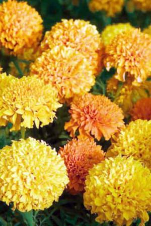 Semences de fleurs : Rose d'Inde Naine varié