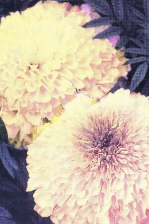 Semences de fleurs : Rose d'Inde Hawaï