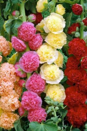 Semences de fleurs : Rose trémière Double