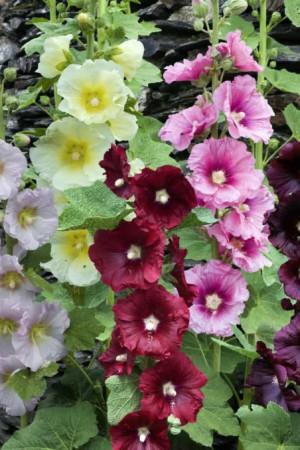 Semences de fleurs : Rose trémière Simple