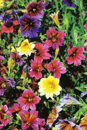 Semences de fleurs : Salpiglosis Bolero F2