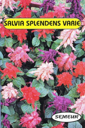 Semences de fleurs : Salvia Splendens varié