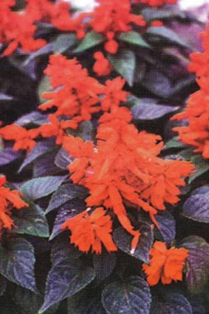 Semences de fleurs : Salvia Splendens