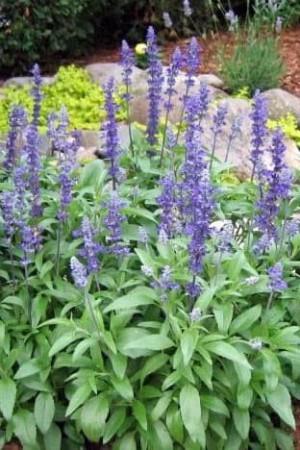 Semences de fleurs : Salvia Farincea Victoria