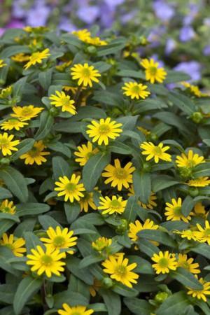 Semences de fleurs : Sanvitalia Jaune à cœur noir