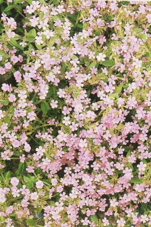 Semences de fleurs : Saponaire Rose
