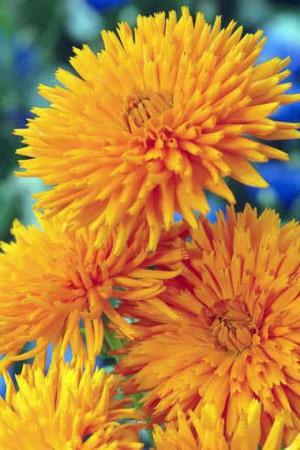 Semences de fleurs : Souci Radio