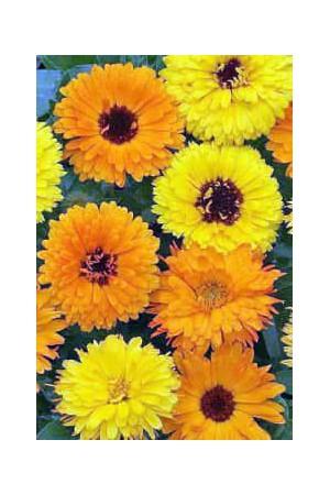 Semences de fleurs : Souci Varié simple