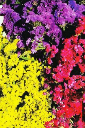 Semences de fleurs : Statice Sinuata Superba