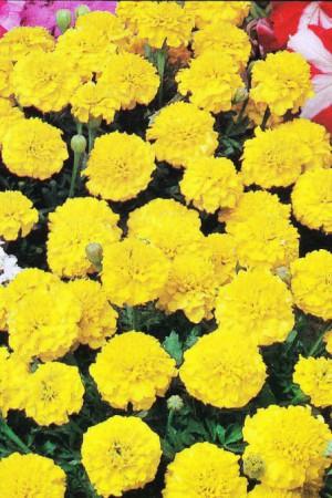 Semences de fleurs : Tagète Petite Yellow