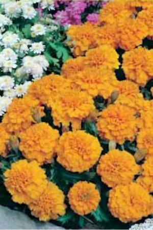 Semences de fleurs : Tagète Petite orange