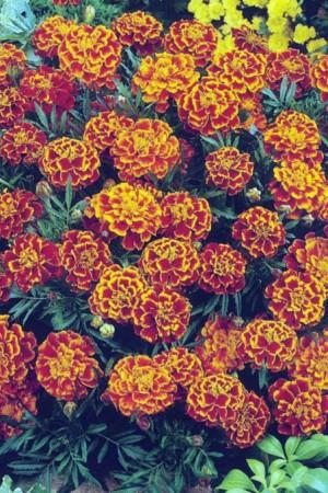 Semences de fleurs : Tagète Bolero