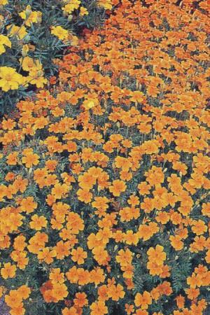 Semences de fleurs : Tagète Signata pumila