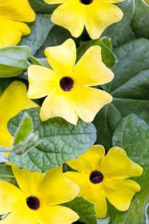 Semences de fleurs : Thunbergia Alata