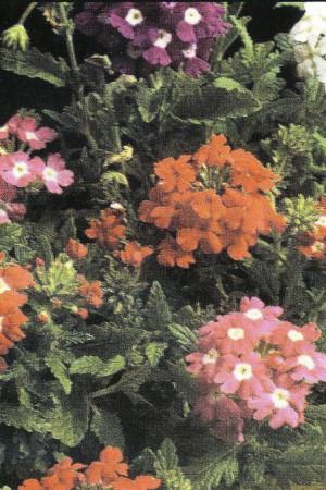 Semences de fleurs : Verveine Hybrida