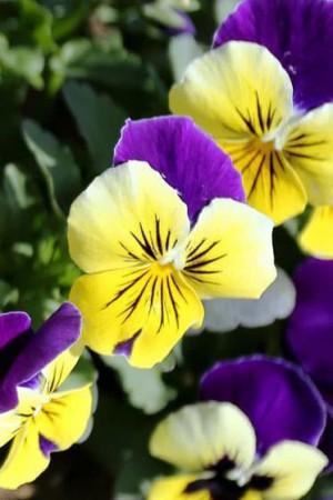 Semences de fleurs : Violette Helen Mount