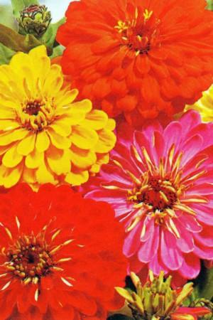 Semences de fleurs : Zinnia A fleur de dahlia