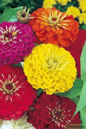 Semences de fleurs : Zinnia Géante de Californie