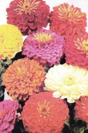 Semences de fleurs : Zinnia Liliput pompon