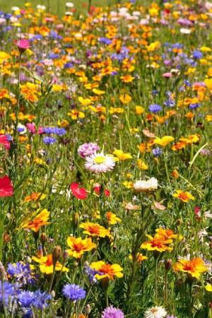 Semences de fleurs : Jachère fleurie Couvre-sol Equilibre
