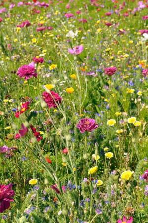 Semences de fleurs : Jachère fleurie Tolérant sécheresse