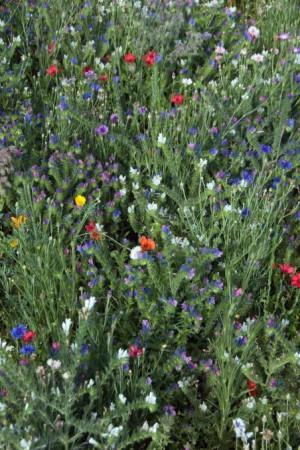 Semences de fleurs : Jachère fleurie Plantes utiles