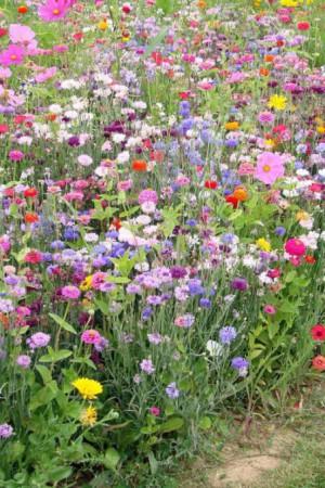 Semences de fleurs : Jachère fleurie Fleurs à couper